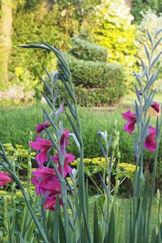 The 25 best self-seeding plants to save you time and money - The Middle-Sized Garden - My favourite self-seeding plant – wild gladioli - Easy Garden, Garden Art, Garden Design, Landscape Design, Patio Design, Landscape Architecture, Garden Plants, Natural Landscaping, Backyard Landscaping