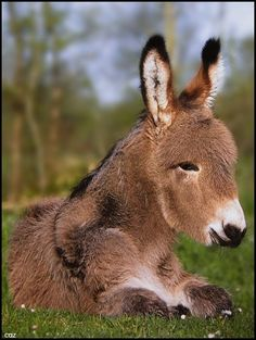 ~~I`m all ears.... ~ donkey foal by Caz~~