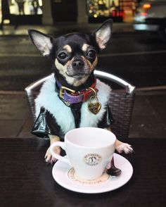 Chihuahua and teacup?