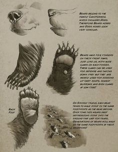 drawing Illustration art disney bear tutorials Character Design how to draw Animal Anatomy aaron blaise anatomy for artists Animal Sketches, Animal Drawings, Art Drawings, Bear Drawing, Anatomy Drawing, Urso Bear, Bear Sketch, Bear Paintings, Bear Claws