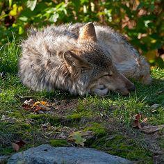 Sleeping Timber Wolf