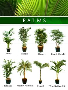 Backyard Garden Design Thoughts tropical garden ideas new zealand.Tropical Garden Ideas New Zealand. Potted Palms, Indoor Palms, Indoor Trees, Potted Palm Trees, Small Palm Trees, Palm Trees Landscaping, Tropical Landscaping, Garden Landscaping, Garden Hedges