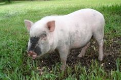 Basic care for pot bellied pigs