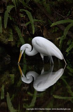 Great Egret with reflection