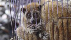 El tráfico ilegal de vida silvestre genera ganancias de hasta 100 mil millones de dólares anuales en el mundo, para ubicarse como uno de los más importantes negocios ilícitos en el ámbito global, después del contrabando de estupefacientes y el de armas.  Al señalar que el 5 de junio se conmemora el Día Mundial del Medio Ambiente, el Instituto Nacional de Estadística y Geografía (Inegi) refiere que en América Latina y el Caribe -región con casi 50 por ciento de la biodiversidad del planeta…