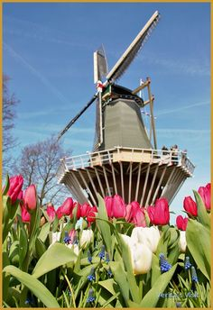 A #windmill surrounded by #tulips. How Dutch can it get #Holland #stereotypes #tradition #landscape