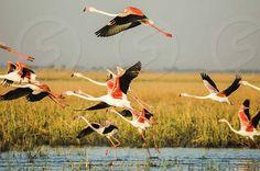 Photo by Enzic Design - birds, flamingos, flight, fly, flying, greater flamingos, fields, motion, water, birds, wildlife, sanctuary