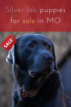 Silver Lab Puppies for Sale in MO at reasonable price is always available for dog lovers. You can get amazing puppies at really low price at ........ #Silverlab #Labrador #labradorretriever #dogs Labrador Breeders, Labrador Puppies For Sale, Labrador Retriever, Silver Lab Puppies, Silver Labs, Dog Lovers, Amazing, Dogs, Animals