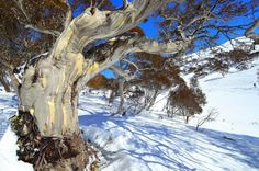 Chilby PHOTOGRAPHY - Illawarra | Perisher Valley, The Snowy Mountains, NSW    The stunning Australian Twisted Snow Gum