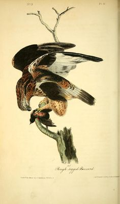 Buzzard, The Birds of America Vol I, John Audubon & John Bowen, 1840.