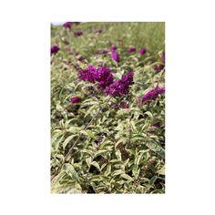 Buddleja davidii 'Masquerade' (Large Plant) - Large Potted Plants - Thompson & Morgan