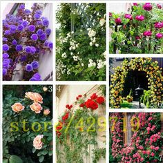 200 pcs   Climbing Roses Seeds,Climbing Plants ,Chinese Flower Seeds for garden planting gift for wife