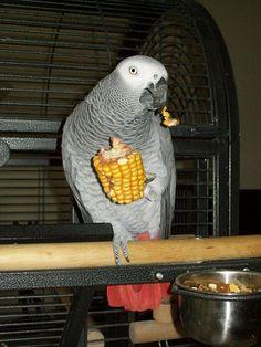 African grey parrot / grijze roodstaart - Pino