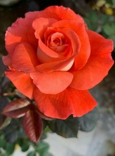 Wonderful Photos Exotic Flowers and plants Popular Local roses as well as flowers can be a wonderful addition to almost any company or maybe family table, howev Beautiful Rose Flowers, Love Rose, Exotic Flowers, Flowers Nature, Pretty Flowers, Orange Rosen, Rose Orange, Morning Rose, Rose Pictures