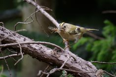 https://flic.kr/p/sVTvFy | Celebrity Status | One of a pair of Goldcrests currently wowing the crowds at London Wetland Centre. Here, it is returning to its' nest to feed the young ones. London, England.