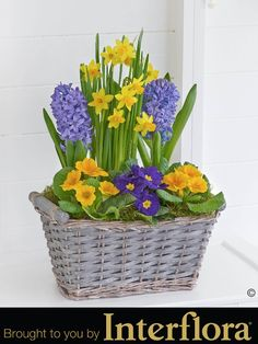 Classic Spring Planter. It's wonderful to see the vibrant colour and freshness of #spring flowers when they first appear – so we've captured that moment with this stunning planted basket. All the classic favourites are here, including these delightful mini #daffodils at the very heart of this lovely display.