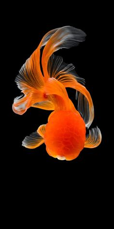 take a photograph of goldfish in rad tone Pretty Fish, Cool Fish, Beautiful Fish, Animals Beautiful, Oranda Goldfish, Goldfish Pond, Tropical Freshwater Fish, Tropical Fish, Freshwater Aquarium