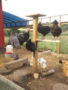 10 Trucs à ajouter à votre poulailler pour rendre vos poules heureuses! Elles vont adorer!! - Trucs et Bricolages