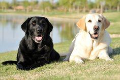 The Healthiest Dog Food For Labrador Retrievers