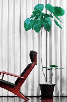 Ficus umbellata(フィカス・ウンベラータ)