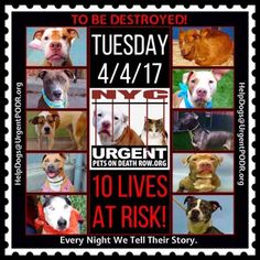 TO BE DESTROYED 04/04/17 - - Info    To rescue a Death Row Dog, Please read this:http://information.urgentpodr.org/adoption-info-and-list-of-rescues/   To view the full album, please click here: http://nycdogs.urgentpodr.org/tbd-dogs-page/ -  Click for info & Current Status: http://nycdogs.urgentpodr.org/to-be-destroyed-4915/