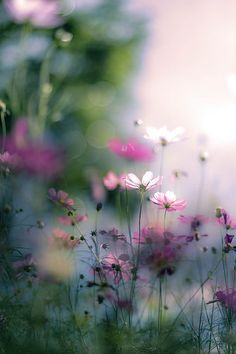 Cosmos | by yako ma - my favourite flowers.