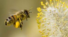 ¿Por qué las #abejas son tan importantes para el equilibrio #ecológico? | Ecología Verde  #savethebees