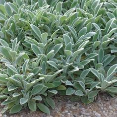 Lamb's Ear, Deer Resistant, Drought Tolerant. Nice perennial groundcover for sunny conditions.