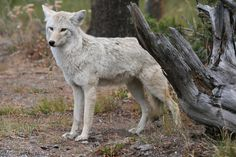 white coyote | White Coyote (Fall+colors trees wild+animals ). Photo by minou