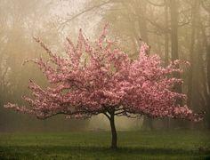 Cerejeira... dá paz só de olhar!
