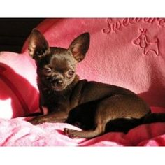 sungold chihuahuas | Sungold Chihuahuas, Chihuahua Breeder in Osceola, Indiana (Listing ID ...... my Wendel is now 4 years old and looks the same, what a cuddle bug he is!!!!!!!