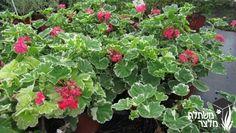 פלרגון פיטאלס -  - משתלות מלצר, משתלת גידול, משתלה לצמחים רב שנתיים,שיחים, עונתיים, מטפסים, תבלינים וירקות ועוד..