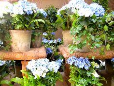 blue hydrangea plants in terra cotta pots