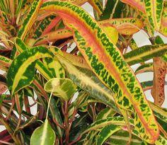 Croton Collection (3 variety minimum)