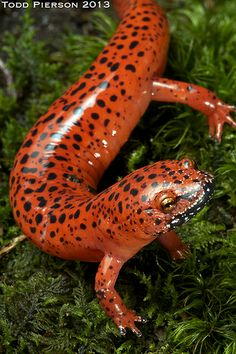 The red salamander (Pseudotriton ruber) is a species of salamander in the Plethodontidae family. It is endemic to the United States. Its skin is orange/red in color with random black spots. Its habitats are temperate forests, small creeks, ponds, forests, temperate shrubland, rivers, intermittent rivers, freshwater, trees springs. It is threatened by habitat loss. Red salamanders eat insects, spiders and smaller salamanders.