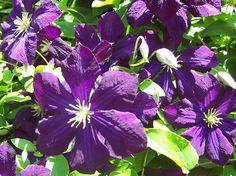 Polish Spirit ~ Italian species ~ Dark blue-purple