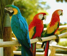 Macaws , Sitting Pretty Blue & Gold , And  a pair of Scarlet Macaws