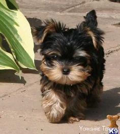 Yorkshire Terrier #yorkshireterrierswag #yorkshireterrierpuppy