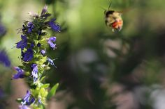 Hyssop oxymel is a tasty and effective cold, flu, congestion and bronchitis home remedy.