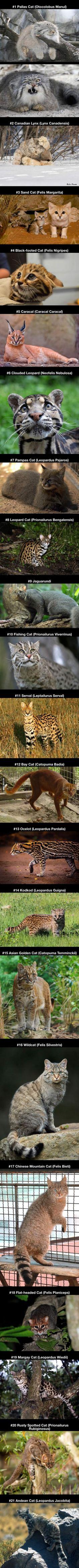 21 Rare Wild Cat Species You Probably Didn't Know Exist  visit us https://pw-surplus.myshopify.com#tricks#amazinganimals