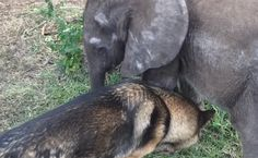 Sad Baby Elephant ellie, Rejected By Herd, Finds Hope Again With German Shepherd Pup. SO HEARTWARMING! I HOPE YOU ENJOY IT AS MUCH AS I DID! Truly Remarkable.