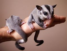 Sugar Gliders. How much more adorable could they possibly be?