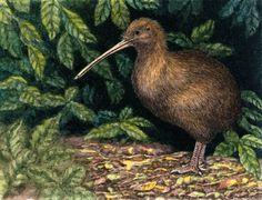 Colours of Wildlife Kiwi appreciation by Willem.
