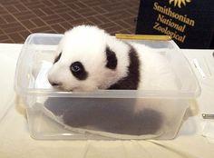 Cucciolo di panda conquista l'Australia.