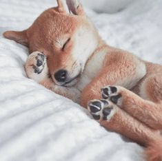 How cute is that puppy Shiba Inu? I hope that makes your day! Dog fact> A puppy need to sleep an average of. Cute Baby Animals, Funny Animals, Chien Shiba Inu, Shiba Puppy, Shiba Inu Puppies, Lab Puppies, Tier Fotos, Cute Dogs And Puppies, Cute Creatures