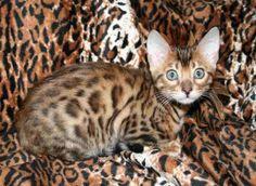 The Bengal cat - $3,000.00