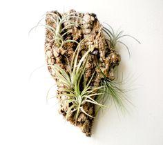 Wall Garden Air Plants on Sustainable Virgin Cork by Plantzilla, $39.00