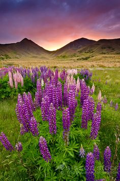 Premium New Zealand Landscape Image | Flowering Lupins | Lindis Pass at sunset, summer, Central Otago, South Island