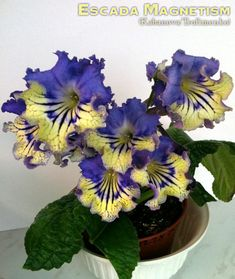 Streptocarpus 'Escada Magnetism' by Kabanova/Trofimenko, Russia.  A leaf arrived May 24th (Not available yet).