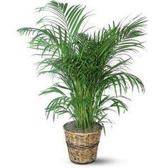 Palmeira de jardim: uma das melhores plantas de purificação de ar, mantendo-o limpo.